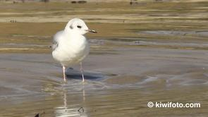 Bonaparte's Gull Video