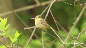 Palm Warbler Video