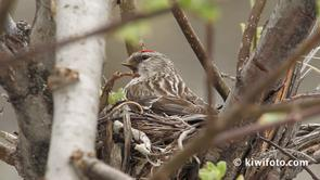 Common Redpoll Video
