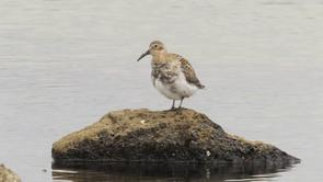 Rock Sandpiper Video