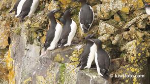 Thick-billed Murre Video