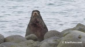 Northern Fur Seal Video