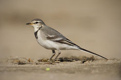 White Wagtail Video