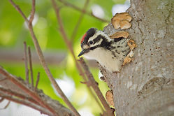 Nuttall's Woodpecker (chick) Video