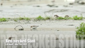 Red-necked Stint Video